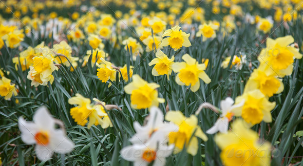 Daffs 2 - Stock Photo - Images