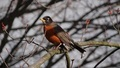 Spring robin - PhotoDune Item for Sale