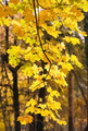 The branches of the maple tree with yellow leaves - PhotoDune Item for Sale