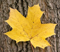 Yellow maple leaf on the background of a tree trunk - PhotoDune Item for Sale