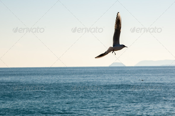 Seagulls (birds in the family Laridae) flying over the blue sea - Stock Photo - Images
