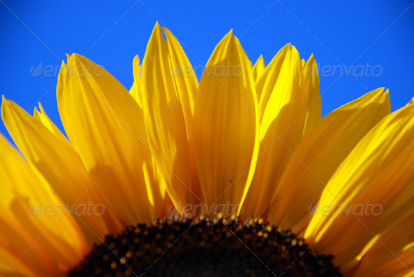 sun flower - Stock Photo - Images