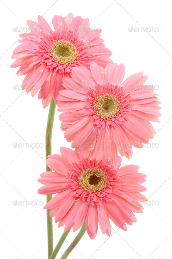 Pink gerber daisies - Stock Photo - Images
