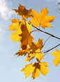 Beautiful autumn tree  leaves over blue  sky - PhotoDune Item for Sale