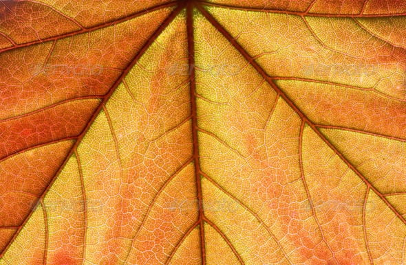 Orange fresh leaf - Stock Photo - Images