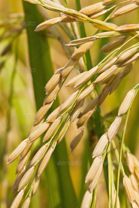 Close up of ripe rice - Stock Photo - Images