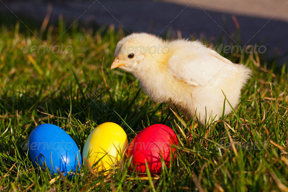 Small chicken with colorful Easter eggs - Stock Photo - Images