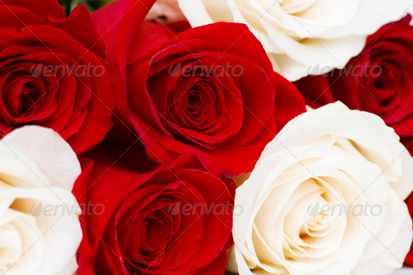 Red and white roses isolated on white - Stock Photo - Images