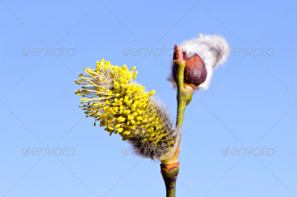 salow pussy-willow in spring - Stock Photo - Images