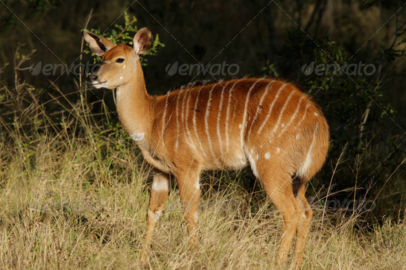 Nyala antelope - Stock Photo - Images