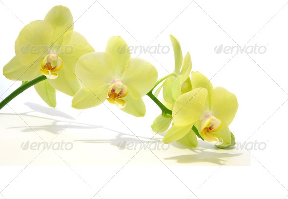 Green Orchid  - Stock Photo - Images