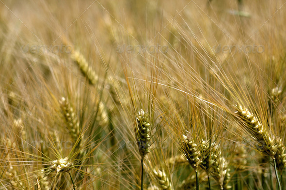 A field of wheat - Stock Photo - Images