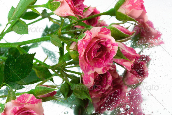 roses on the mirror - Stock Photo - Images