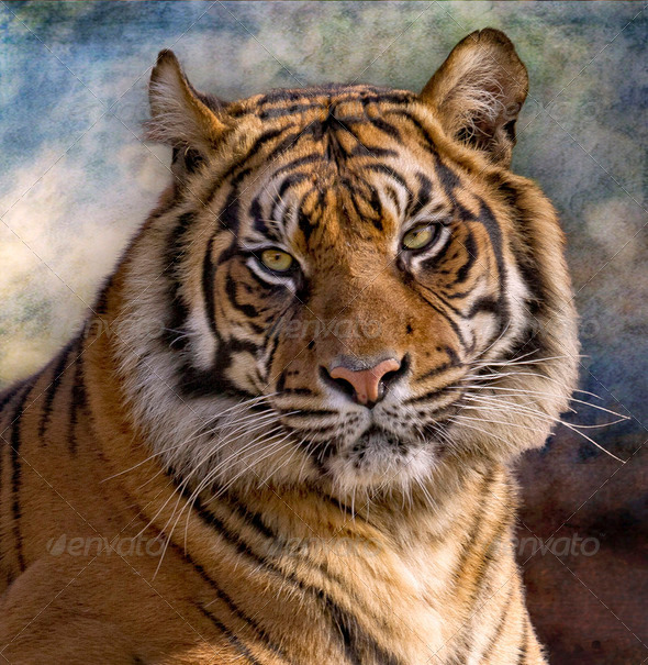 tigre de Bengala (Panthera tigris tigris) - Stock Photo - Images