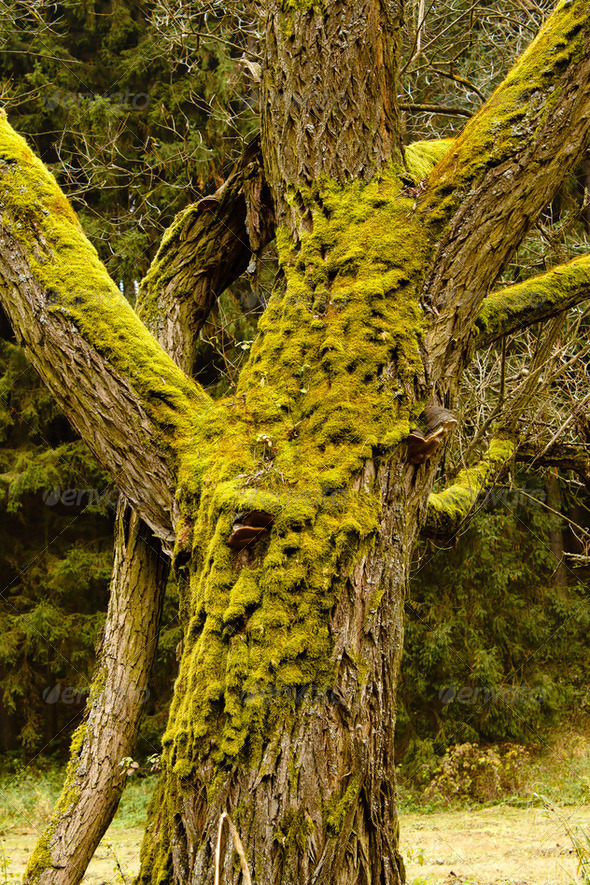 Bright Green Moss (bryophytes) on tree trunks - Stock Photo - Images