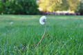 Dandelion on green field - PhotoDune Item for Sale