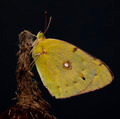 Yellow butterfly - PhotoDune Item for Sale