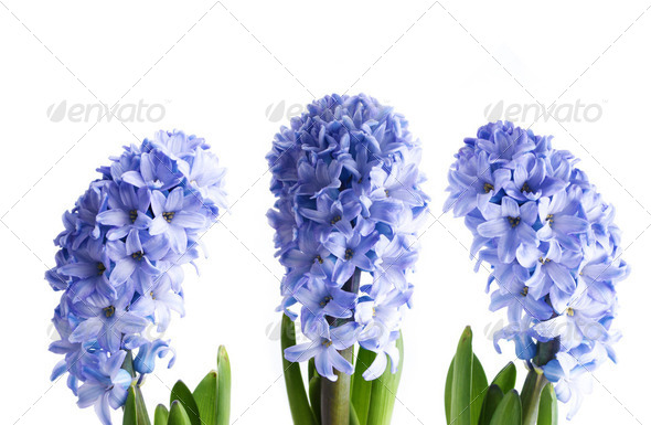 Blue Hyacinth - Stock Photo - Images