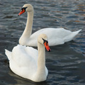 White swans. - PhotoDune Item for Sale