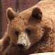 Brown Bear - VideoHive Item for Sale