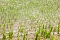 Hail damaged corn field - Storm disaster - PhotoDune Item for Sale