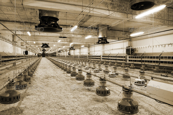 poultry farm - Stock Photo - Images