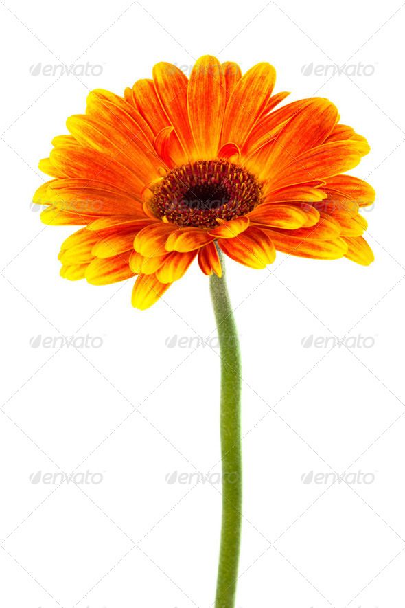 beautiful bright gerbera - Stock Photo - Images