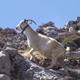 A Goat Climbs the Hillside - VideoHive Item for Sale