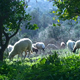 Sheep in a Field - VideoHive Item for Sale