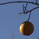 Orange on a Branch - VideoHive Item for Sale