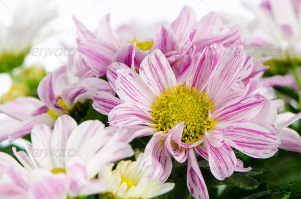 Beautiful Chrysanthemum flowers - Stock Photo - Images