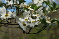 Dogwood Blooms - PhotoDune Item for Sale