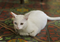 White Cat - PhotoDune Item for Sale