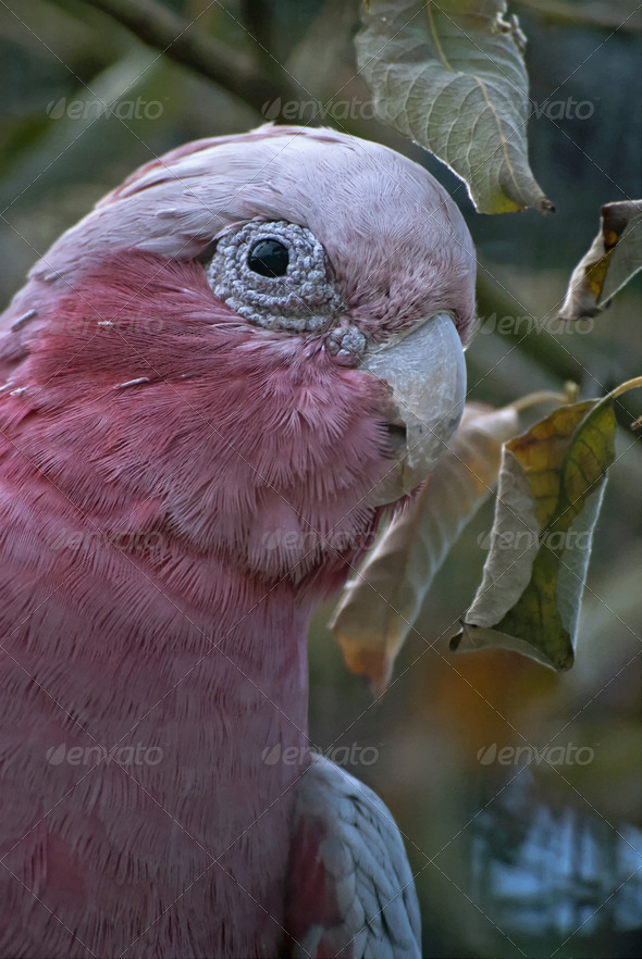 Galah - Stock Photo - Images