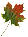 leafs of maple isolated - PhotoDune Item for Sale