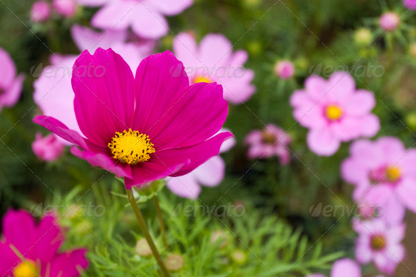 Cosmos Flower - Stock Photo - Images
