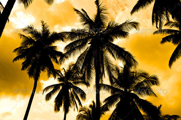 Silhouettes of coconut trees - Stock Photo - Images