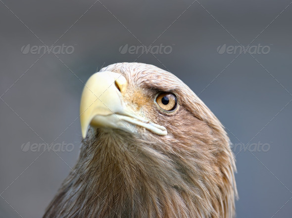 Face of eagle - Stock Photo - Images