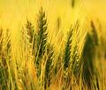 Summer wheat - PhotoDune Item for Sale