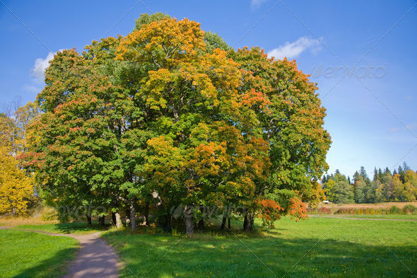 maple trees in autumn - Stock Photo - Images
