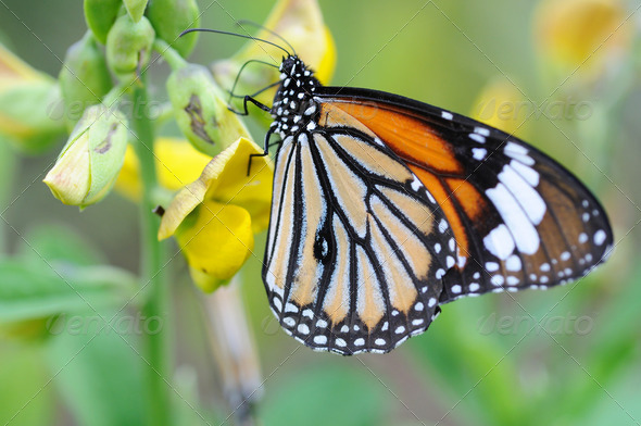 Monarch butterfly - Stock Photo - Images
