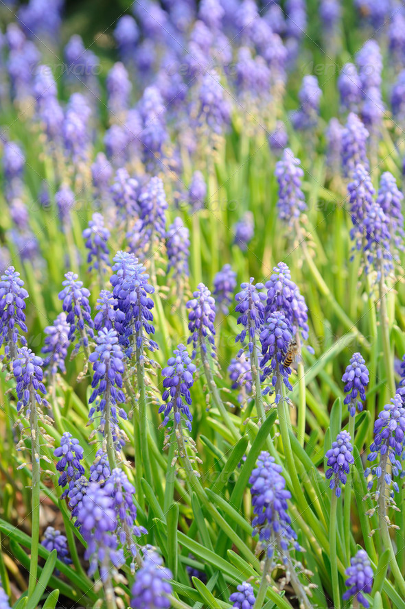 Background of grape hyacinth - Stock Photo - Images