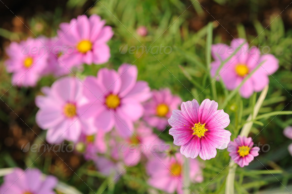 Pink cosmos flowers - Stock Photo - Images