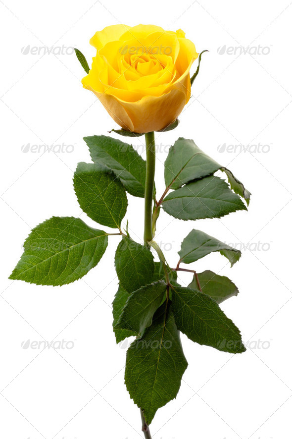 Single yellow rose - Stock Photo - Images