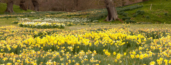 Daffodils surround trees in rural setting - Stock Photo - Images