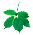 Green virginia creeper leaves - PhotoDune Item for Sale