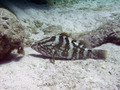 Nassau Grouper Fish Underwater Scuba Diving Grand Cayman - PhotoDune Item for Sale