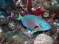 Rainbow Parrotfish Underwater Scuba Diving Grand Cayman - PhotoDune Item for Sale