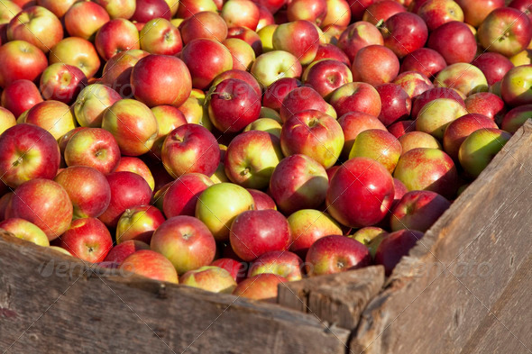 Apple Harvest - Stock Photo - Images