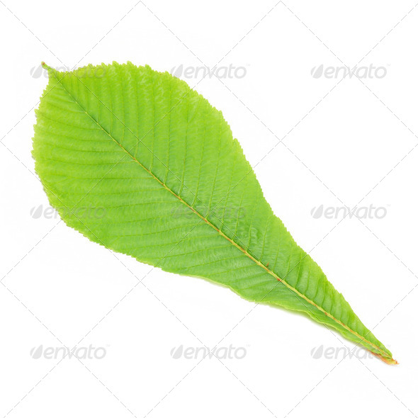 Green chestnut leaf - Stock Photo - Images